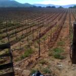 Reyes bottling vineyards