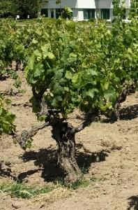Old vine at Library Vineyard
