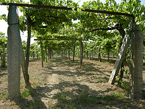 Pergola style trellising system in the Rias Baixas. Photos by Dennis Schaefer
