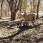 Wine and Livestock Make for a Perfect Pairing, by Barbara Barrielle