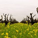Zinfandel Advocates and Producers Launches The California Zinfandel Trail