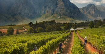 South African Wine Harvest Report 2021: Slow and Steady Wins the Race